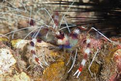 BD-151223-Dauin-9356-Stenopus-hispidus-(Olivier.-1811)-[Banded-coral-shrimp].jpg